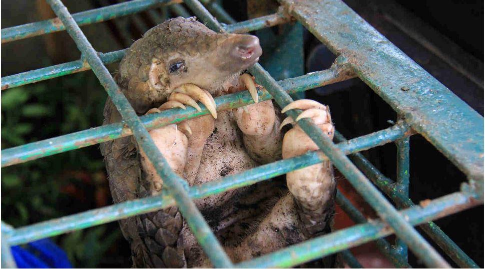 Pangolin im Käfig (© Arief Budi Kusuma/shutterstock.com)